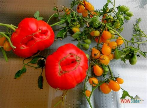 tomate11_490
