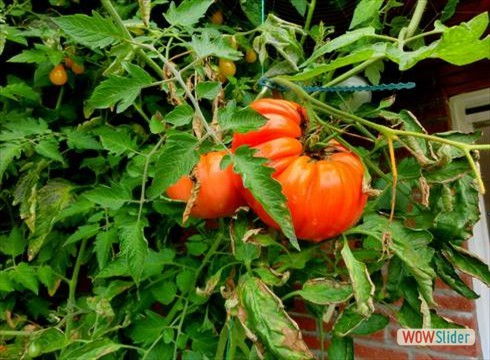 tomate5_490