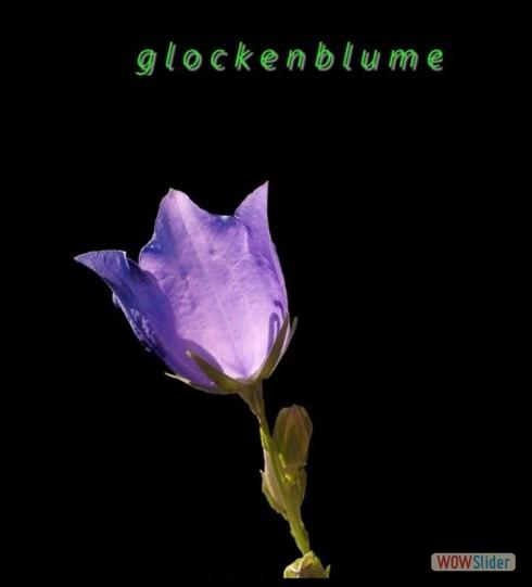 glockenblume