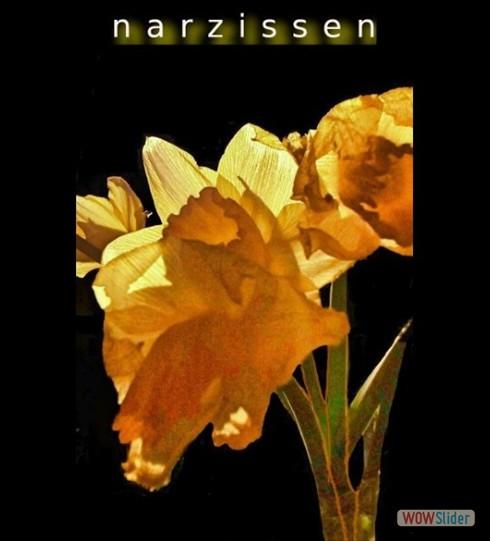 narzissen2