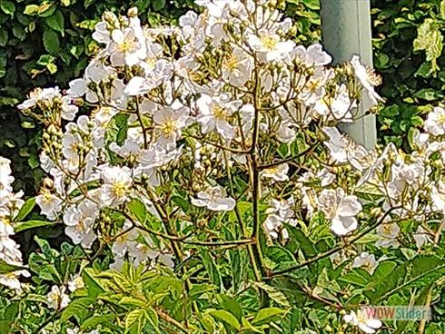 weißerose