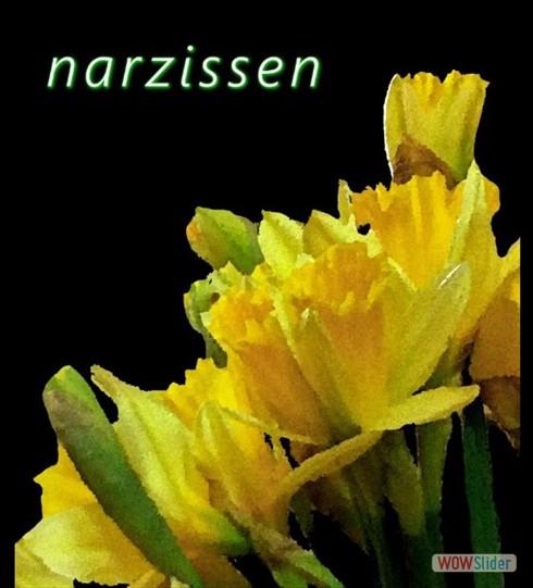 narzissen